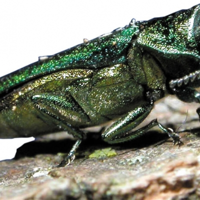 Closeup photo of an emerald ash borer